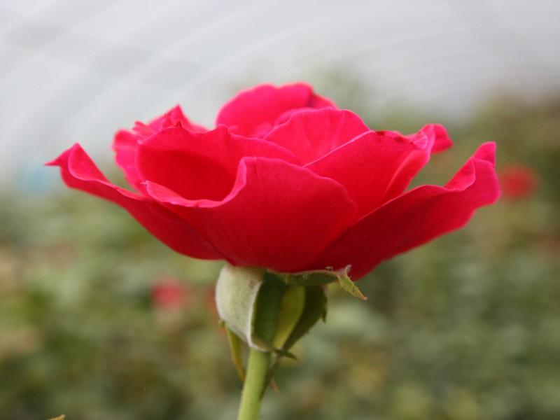 玫開四度玫瑰花瓣醬150g